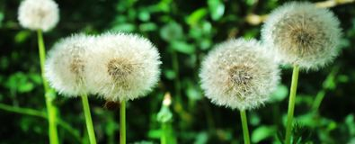 Panoramic image of white fluffy dandelion on a green background Stock Photo