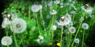 Panoramic image of white fluffy dandelion on a green background Royalty Free Stock Photos