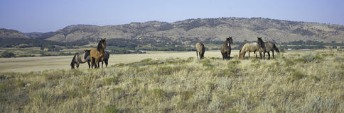 Panoramic image of wild horses Royalty Free Stock Photos