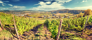 Panoramic landscape with autumn vineyards Stock Photography