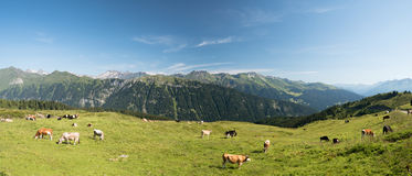 Panoramic landscape with cows grazing on a green alpine meadow Royalty Free Stock Photography