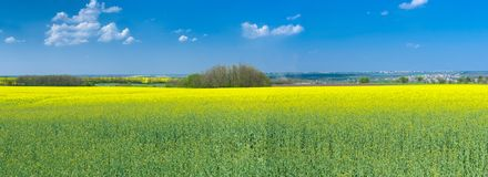 Panoramic landscape with flowering rapeseed Stock Images