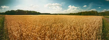 Panoramic landscape with golden wheat field. Agricultural background royalty free stock photography