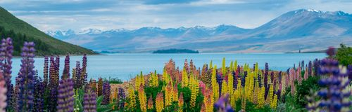 Landscape at Lake Tekapo Lupin Field in New Zealand. Panoramic Landscape at Lake Tekapo and Lupin Field in New Zealand. Lupin field at lake Tekapo hit full bloom Stock Images