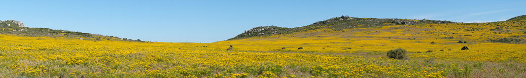 Panoramic landscape of a meadow of flowers on the West Coast of South Africa Royalty Free Stock Photo