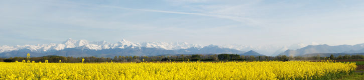 Panoramic landscape of a rapeseed field Stock Image
