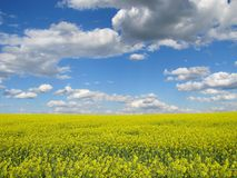 Panoramic landscape of a rapeseed field under blue sky and clouds. Brassica napus. royalty free stock photos
