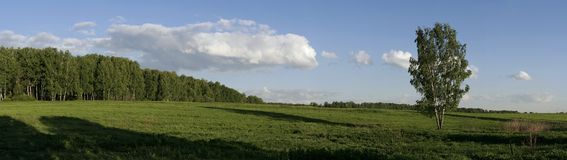 Panoramic landscape with russian birch 2 stock photo