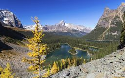 Larch and Lake O`Hara Panoramic Landscape in Yoho National Park. Panoramic Landscape View of Lake O'Hara Alpine Basin and Distant Snowy Mountain Tops on Great Stock Images