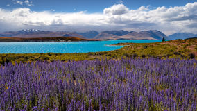 Panoramic landscape view of Lake Tekapo and blooming flowers, NZ Stock Image