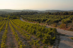 Panoramic landscape of a vineyard in Crete, Greece. Stock Photos