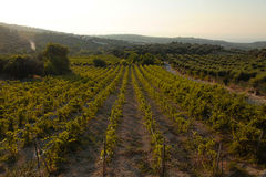 Panoramic landscape of a vineyard in Crete, Greece. Stock Image