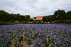 Lavender field with house and windmill