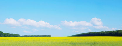 Panoramic landscape with yellow field and sunny blue sky Royalty Free Stock Photos