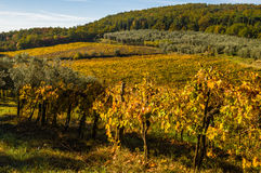 Panoramic landscapes of vineyard and olive tree Royalty Free Stock Photography