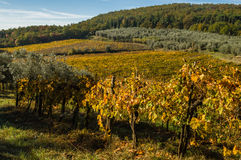 Panoramic landscapes of vineyard and olive tree Royalty Free Stock Photo