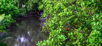 Panoramic of mangrove forest at low tide Stock Images
