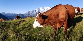 Panoramic mountain cow Stock Photography