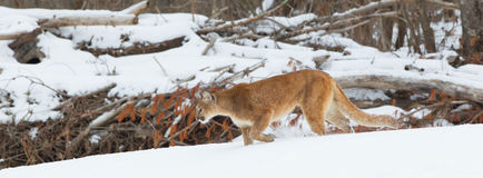 Panoramic Mountain lion landscape in deep snow Royalty Free Stock Photos