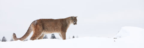 Panoramic of mountain lion. On mountain ledge Stock Photography