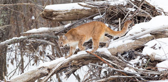 Panoramic of mountain lion in thick tree growth Stock Image