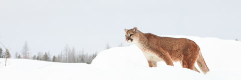 Panoramic mountain lion Stock Photos