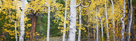 Panoramic Of Aspen Trees Stock Photo