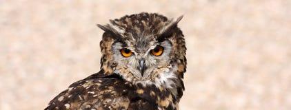 Panoramic owl look Royalty Free Stock Photos