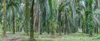 Panoramic of a palm plantation. Panoramic shot of a palm plantation in Costa Rica Stock Photo