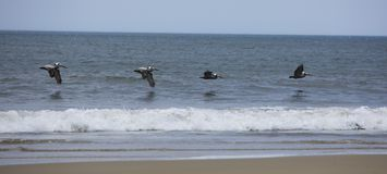 Panoramic Pelicans. Four Pelicans soar low over ocean waters close to shore. Waves breaking on brown sand royalty free stock image