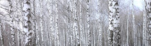 Panoramic photo of beautiful scene with birches in autumn birch forest in november. Among other birches in birch grove royalty free stock photography