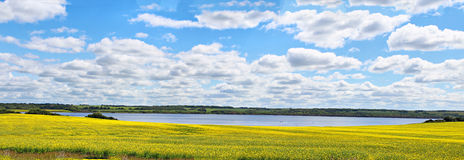 A panoramic photo of a canola field. A panoramic of a yellow canola field with a large body of water in the middle and trees in the background Stock Photo