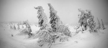 Panoramic photo of fir trees bowed by snowstorm. Panoramic photo of fir trees bowed by a snowstorm in mountains at Urals, Russia Stock Images