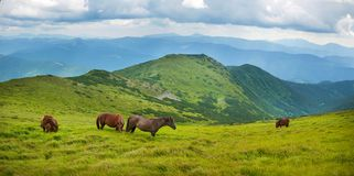 Panoramic photo of grazing horses at high-land pasture at Carpathian Mountains. Stock Photo