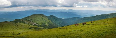 Panoramic photo of grazing horses at high-land pasture at Carpathian Mountains. Stock Images