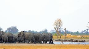 Panoramic photo of many animals including giraffe and elephants at a waterhole. Vibrant waterhole with elephants having fun while Giraffes look on and vultures stock photo