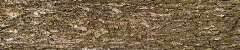 Panoramic photo of old birch bark texture. Texture of a cracked rough tree bark for graphic design. Royalty Free Stock Photography