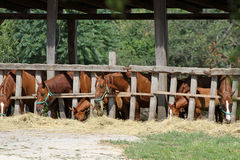 Panoramic photo from purebred horses on animal farm Royalty Free Stock Photography