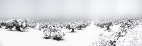 Mora. Panoramic photo with snow olives in Mora, Toledo from Spain Royalty Free Stock Images
