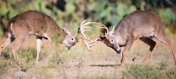 Panoramic photo of two whitetail bucks fighting. During the rut royalty free stock images