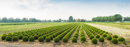 Panoramic photograph of a boxwood nursery in the Netherlands Stock Photo