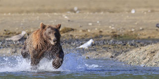 Panoramic photograph of brown bear charging fish Royalty Free Stock Images