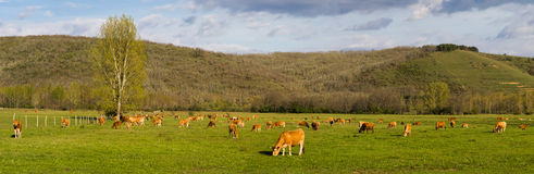 Panoramic photograph of brown cows, grazing in green meadow Royalty Free Stock Photo
