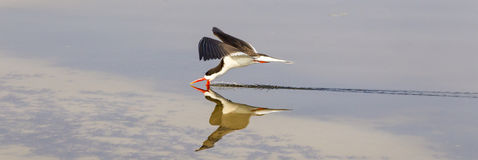 Panoramic Photograph of Caspian Tern Royalty Free Stock Photo