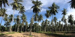 Panoramic photograph of coconut tree field. Stock Images