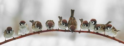 Panoramic picture of funny cute birds sparrows sitting on a bran. Ch in the Park and look forward Royalty Free Stock Photography