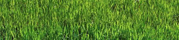Panoramic picture - green oats Royalty Free Stock Photography