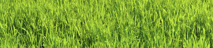 Panoramic picture - green oats Stock Photography