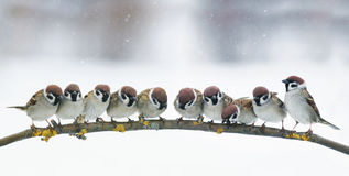 Panoramic picture with many little funny birds sitting in the Pa. Panoramic picture with many funny birds sitting in the Park on a branch in snow stock photo