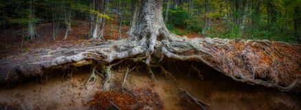Free Panoramic Picture Of Big Beech Tree Roots Stock Images - 175276344